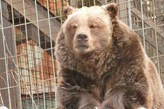 Grizzly (Bucky-D) Tags: bear zoo calgaryzoo grizzlybear fz1000