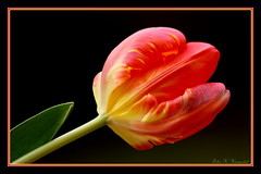 Tulip profile (K. Haagestad) Tags: flower macro closeup petals colours frame tulip