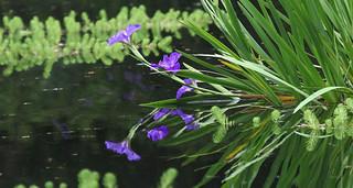 Iris Pool