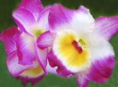 Purple Delight (Cher12861) Tags: flowers orchid macro yellow closeup purple bright glowing blooms orchidsbyhausermann villaparkillinois photoshoppedbackgroundtomakemoreappealing