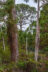 Hypoluxo (mccobb) Tags: florida scrub deadtrees scrubpines mccobb hypoluxo sandpines
