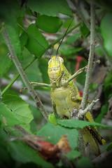 Grasshopper (Lim SK) Tags: grasshopper