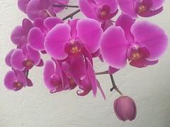 Phalaenopsis IMG_2972 (fernandodelatorre46) Tags: mxico mexico mexicocity orchids phalaenopsis orqudeas