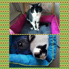 New beds - check  Wrong colours - check :-) (Snappergus) Tags: white black pussy tuxedo tux puss catbed mog moggy blackandwhitecat photogrid