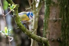 _DSC0672-Edit.jpg (NorthernPaul1606) Tags: nikon tamron bluetit leightonmoss gardenbird d7100 150600