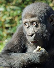 gorilla burgerszoo JN6A5620 (j.a.kok) Tags: gorilla burgerszoo westernlowlandgorilla westelijkelaaglandgorilla