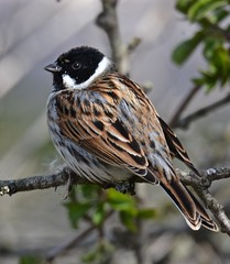 Reed Bunting Greylake RSPB Somerset tagged (peterleanranger) Tags: reed nature fantastic wildlife somerset bunting rspb greylake emberizidae passeriformes reedbunting emberiza passerine emberizaschoeniclus schoeniclus featheryfriday 3000v120f fantasticnature fantasticwildlife rspbgreylake