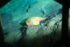 Angler fish (ianc7777) Tags: leica sony submarine stanley karl roatan exploration institue deepsea idabel trielmar a7rii
