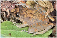 Slim-fingered Rain Frog or Isla Bonita Robber Frog (Panama Birds & Wildlife Photos) Tags: macro wildlife amphibian frog panama amphibians rana macrophotography anfibios wildlifephotography panamawildlife