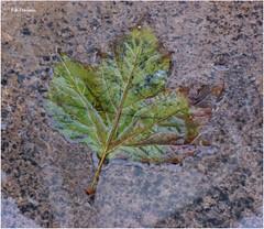 Hoja sobre pavimento mojado. Leaf on wet pavement. (Esetoscano) Tags: verde green hoja water leaf agua qu alle brillos wetpavement pigmentacin pigmentation sheens pavimentomojado quebienvistoqubuenojotienes tocayoabrazos