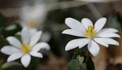 Flowers, Fermilab. 2 (EOS) (Mega-Magpie) Tags: flowers usa white flower nature yellow america canon outdoors eos illinois outdoor dupage il batavia kane fermilab winfield 60d