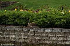 Nesting Geese (SarahJDhue) Tags: nature birds canon campus daddy mom outdoors geese dad nest wildlife mommy goose lc nesting eosrebel t3i lccc lewisandclarkcommunitycollege sarahjdhuephotos sarahjdhue