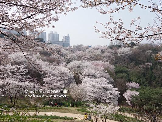 안산공원벚꽃16