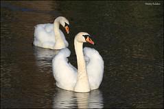 Mute swan / - / Cygnus olor (Dmitry Kulakov) Tags: muteswan cygnusolor