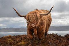 What's up? (PentlandPirate of the North) Tags: skye islands scotland cow highlands cattle highlander highland heilancoo