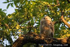 Sleepy Barred Owlet (Tyler Ellis Smith) Tags: smugmug barred owl baby owlet white rock lake dallas tx nature bird wildlife sleep sleepy golden hour
