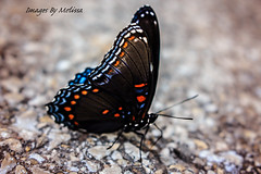 watermarkedIMG_2308 (Melissa Grose) Tags: blue black nature butterfly insect outdoor pavement antenna gravel