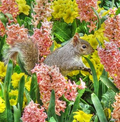 St James Park Squirrel (kathryn Wilkins) Tags: flowers london floral spring squirrel stjamespark royalparks