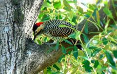 Carpintero nuca roja (palom@.) Tags: naturaleza aves piciformes picidae colaptesmelanochloros avesdeluruguay carpinteronucaroja