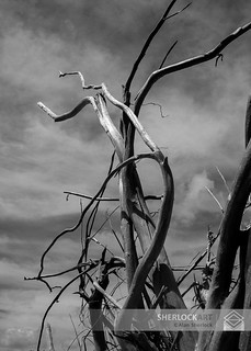 Weathered Tree North Island,SC. 2013