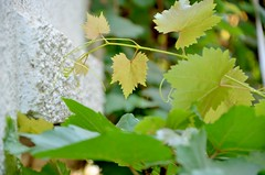 grapes climbing plant (connectchintan) Tags: plant green climbing grapes