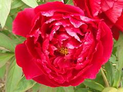 Colorful Flower Close-Up, Van Vorst Park, Jersey City, New Jersey (lensepix) Tags: flowers flower newjersey jerseycity colorful flowercloseup colorfulflower