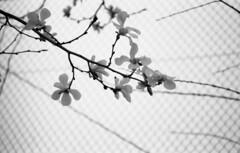 160319_SR_T101_003 (Matsui Hiroyuki) Tags: minoltasrt101 fujifilmneopan100acros minoltamctelerokkorpf100mmf25 epsongtx8203200dpi