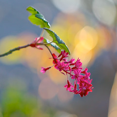 Flowering Currant (paulapics2) Tags: flower nature floral leaves garden spring flora pretty bokeh bloom canon5d colourful delicate dainty frhling ribes hbw floweringcurrant