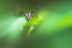 grievous (3) (jean-marie teyssier) Tags: insecte nevers macronaturebourgognenievrenevers