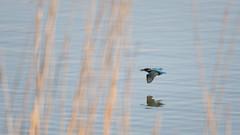 Kingfisher flight with fish_2 (Tony McLean) Tags: kingfisher naturephotography eastyorkshire wildlifephotography eisvogel tophilllow nikond4 nikon500f4gvr 2016tonymclean