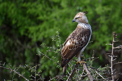 Hawk-Sri lanka (Damith Danthanarayana) Tags: wild bird eye animal forest hawk watch sharp sri lanka crested yala