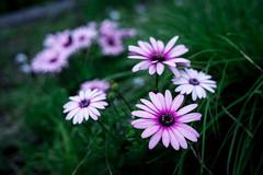 flower (enebisu) Tags: flower sony cosina voigtlaender    a7ii 40mmf14 noktonclassicsc hawksfactory 7ii ilce7m2