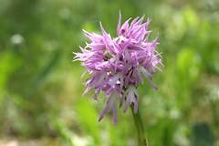 Fairies (Sol veig) Tags: purple alf fairy orchis italica