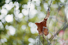 fallen leaves (Steve only) Tags: film leaves zeiss 50mm s snaps carl epson fujifilm 100 f18 35 ikon voigtlnder 1850 5018 ultron v750 icarex gtx970