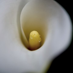 Calla lily (yoshinori.okazaki) Tags: white flower macro lily calla bokeh pentaxart