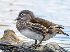 female Mandarin Duck (xrxss15) Tags: birds animals germany tiere europe stuttgart aves mandarinduck vgel animalia aixgalericulata badenwrttemberg anatidae mandarinente ducksgeeseandswans rotwildpark brenseen