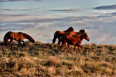 THE STALLION (Aspenbreeze) Tags: sunset sky horses nature grass rural sundown country wyoming wildhorses wildanimals runninghorses wyomingwildlife wildequine greenriverwyoming aspenbreeze moonandbackphotography bevzuerlein buttepointwildhorserange