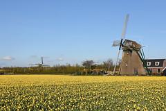 Windmills and tulips, Noordwijkerhout, April 28, 2016 (cklx) Tags: windmill molen noordwijkerhout bollenstreek hoogeveenseplder