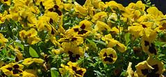 Passionate Pansies (BKHagar *Kim*) Tags: flowers flower green nature floral yellow al huntsville alabama pansy pansies acrossthepond bkhagar