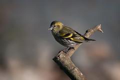 Messy (Luis-Gaspar-Taking-A-Break) Tags: bird portugal animal nikon iso400 ave f56 passaro siskin d60 eurasiansiskin carduelisspinus castelodevide lugre 11600 55300 pintassilgoverde