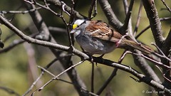 1.29721 Bruant  gorge blanche / Zonotrichia albicollis / White-throated Sparrow (Laval Roy gone birding to MX till mid-may) Tags: birds canon aves qubec oiseaux whitethroatedsparrow zonotrichiaalbicollis passeriformes bruantgorgeblanche eos7d comtdeportneuf embrizids ef300mm14lisextender14xiii lavalroy