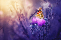 Dream a little dream (Psztor Andrs) Tags: vanessa sunlight flower art nature yellow manipulated butterfly lens photography nikon hungary colours purple sigma atmosphere tele dslr 70300mm andras cardui pasztor d5100