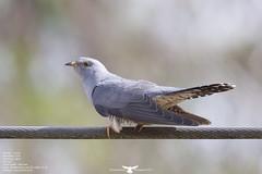Cuckoo (Thomas Winstone) Tags: bird nature birds canon spring wildlife feathers feather aves bbc cuckoo avian birdwatcher avians canon300mmf28 canonuk birdperfect canon1dx