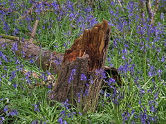 IMG_0190 (Joy Shakespeare) Tags: uk coventry woodlandtrust allesley elkinwood