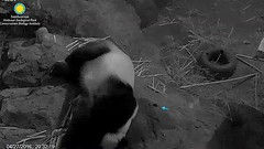 Go home, Larry. The princess is asleep.........../vs45.png (heights.18145) Tags: larry baobao smithsoniansnationalzoo ccncby