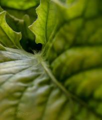 52 Weeks - Week 18  Eye for Detail (Caroline Laj.) Tags: dahlia plant green leaf micro abstra