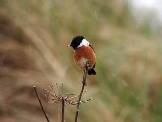 Male Stonechat Troon