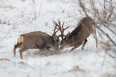 Dueling bucks. Rocky Mountain Arsenal National Wildlife Refuge.