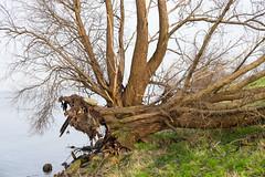 diemerzeedijk (hansfoto) Tags: tree 35mm fuji boom fallen fujifilm f2 fujinon wr diemerzeedijk xf ijmeer omgevallen