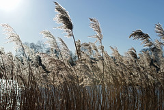 reeds (dick_pountain) Tags: london reeds pond parliamenthill